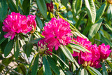 pink rhododendron grandiflorum flowers in bloom