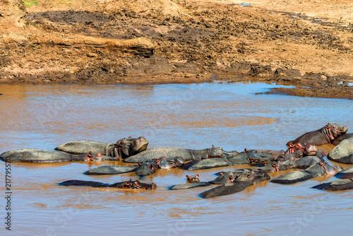 Poster Close hippo or Hippopotamus amphibius in water