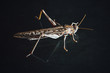 locust grasshopper on black background
