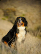 Quadro Bernese Mountain Dog outdoor portrait sitting in field