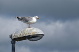 Seagull at lantern in the marina of the Swedish fishing town Stromstad - 217815373