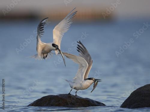 Foto Murales Sandwich tern (Thalasseus sandvicensis)