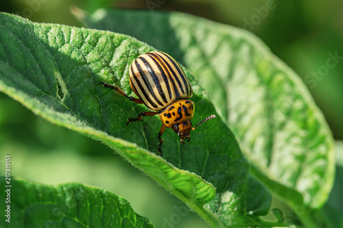 In de dag Natuur Colorado beetle on leaves of potatoes in garden.