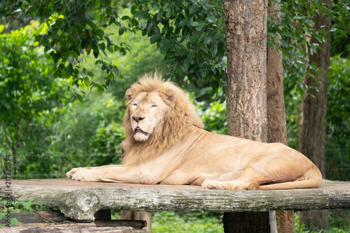 Plakat male lion laying alone