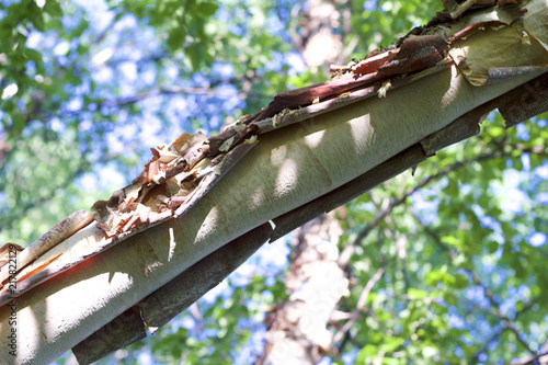 Close up view of textured torn and peeling bark on a river birch tree - 217822129