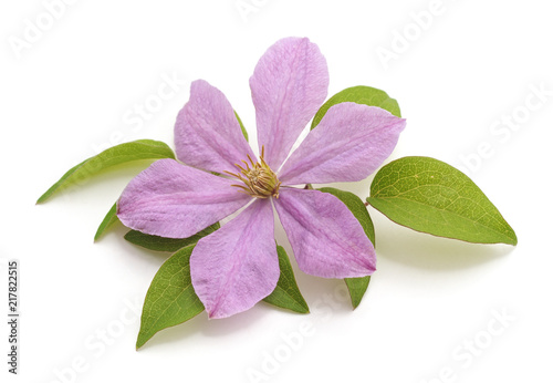 Jeden kwiat purpurowy clematis.