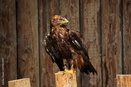 Foto Spatwand Eagle Hawk