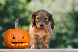 adorable puppy posing with a carved pumpkin outdoors