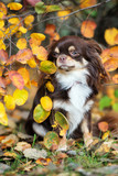 brown chihuahua dog posing outdoors in autumn