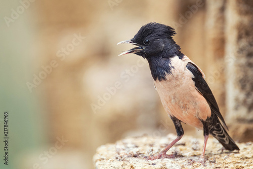 Foto Murales Rosy Starling (Sturnus roseus) stands on a stone