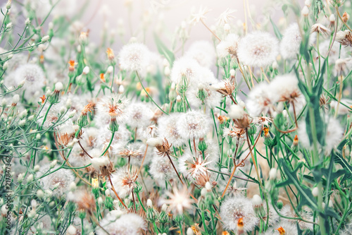 Foto Murales Beautiful floral background with dandelion flowers in summer. Nature beauty.