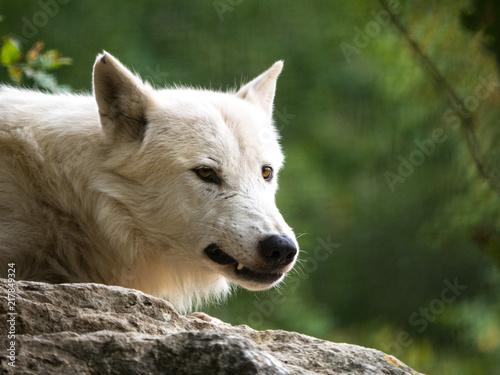 Aluminium Wolf Loup arctique