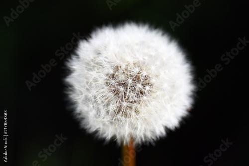 Foto Spatwand Paardenbloemen Dandelion seeds