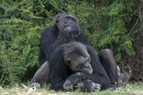 Chimpanzees taking care