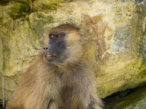 Foto Spatwand Aap Macaque