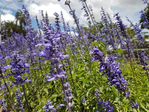 Foto Spatwand Lavendel Lavanda