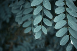 Background of acacia leaves. Toned in cool blue color - 217865919