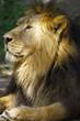 Löwe (Panthera leo) Portrait