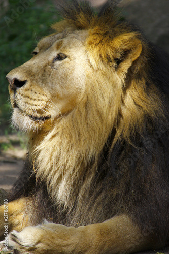 Canvas Lion Löwe (Panthera leo) Portrait