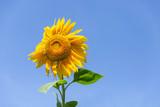 Beautiful sunflower on the blue sky
