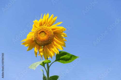 Foto Murales Beautiful sunflower on the blue sky