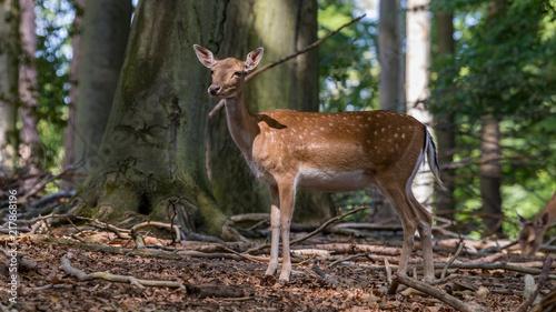Canvas Hert female fallow deer