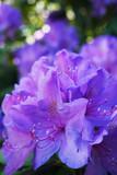 violet azalea flowers