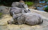 Three White rhinoceros close up view - 217877512