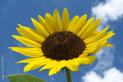 Plexiglas Geel ひまわりと青空と白い雲 - Sunflower with blue sky background