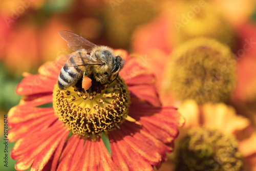 In de dag Bee Honey bee sucking nectar from a red and orange coneflower seen obliquely from obove