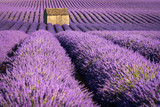 Lavender fields in Valensole at sunset with stone house in Summer. Alpes de Haute Provence, France - 217886969