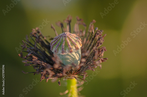 Foto Spatwand Vlinder Wild poppies on the field in the