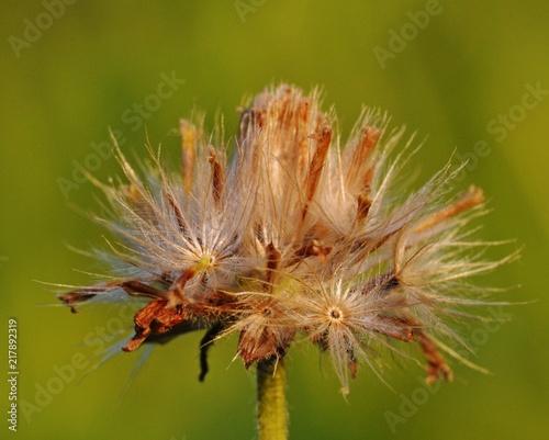 Canvas Paardenbloemen a dried dandelion