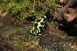 Goldbaumsteiger (Dendrobates auratus) Pfeilgiftfrosch