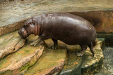The pygmy hippopotamus is a small hippopotamid which is native to the forests and swamps of West Africa - 217893728