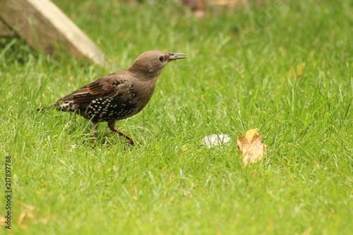 Foto Murales starling bird in the garden