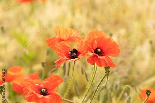 red poppy flower field - 217902501