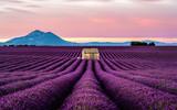 Lavender morning - 217902701