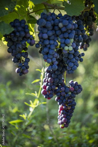 In de dag Wijngaard fresh blue grapes in green vineyard