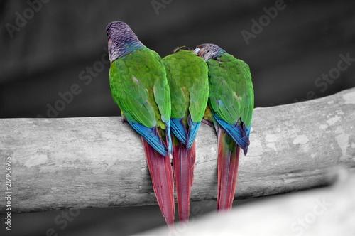 Aluminium Papegaai parrots