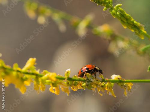 Multicolored Asian lady bug beetle