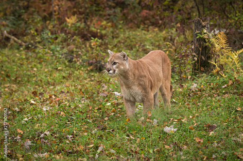 Foto Murales Adult Male Cougar (Puma concolor) Stands on Ground Looking Left