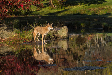 Coyote (Canis latrans) Looks Right From Island