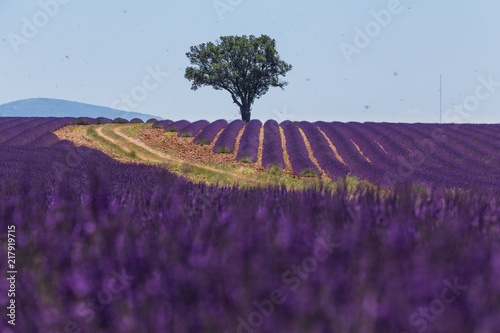 champs de lavande en provence - 217919715