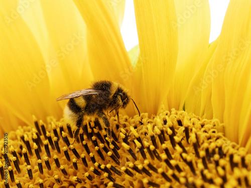 Foto Murales Trzmiel na słoneczniku