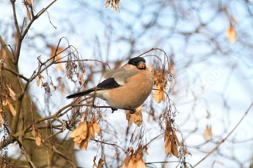 Foto Murales Gil bird female