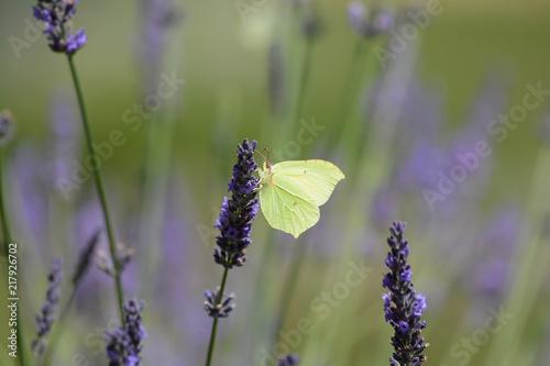 papillon . Le Citron