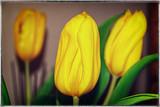 Yellow tulips on dark background