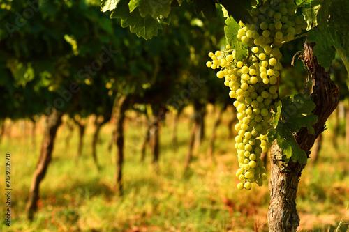 Fotobehang Toscane white grapes on vineyards in Chianti region. Tuscany, Italy.