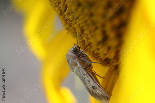 Foto Murales Shaggy butterfly with emerald eyes on flowering sunflower.